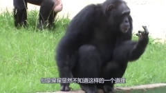 猩猩模仿人们抽烟,一只猩猩被拍下搞笑的一幕