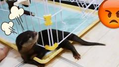 小水獭躺在笼子上,阻止主人打扫它的地盘,这