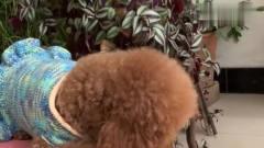 主人让泰迪米米去剪头发,泰迪米米下一幕动作