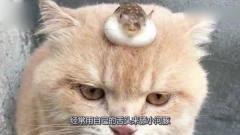 粗心主人把河豚托付给猫咪,下班回家就看到了