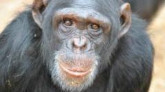 高智商的猩猩猴子,是人类逗它还是它在逗人?