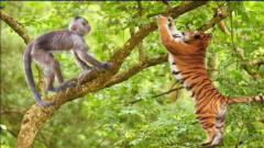 老虎爬树追猴子刚准备飞扑,搞笑的一幕发生了