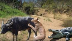 狮子疯狂追杀400斤野牛,下一秒鳄鱼来凑热闹,