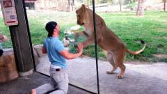 游客动物园逗狮子,狮子不淡定了:怕不是个傻