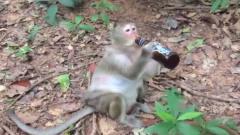 猴子将整瓶酒喝光,下一秒请你憋住别笑,镜头