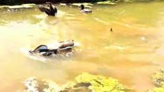 搞笑一幕,大鹅锁喉把公鸭按在水里好像在说你