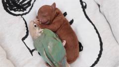 鹦鹉把泰迪当成自己的孩子,两个月后画风突变