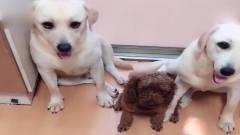 主人审问狗狗一家和泰迪谁偷吃了火腿肠,一家