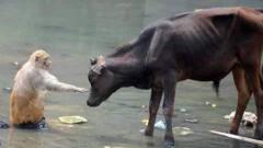 公牛和猴子抢吃的,画面十分搞笑,镜头记录精