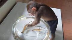 主人买虾逗小猴子,接下来请忍住别笑,太小看
