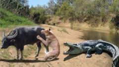狮子疯狂追杀野牛,没眼力劲的鳄鱼来凑热闹,